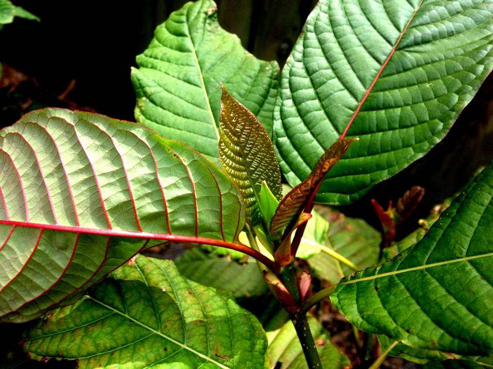 Red Vein Borneo Kratom